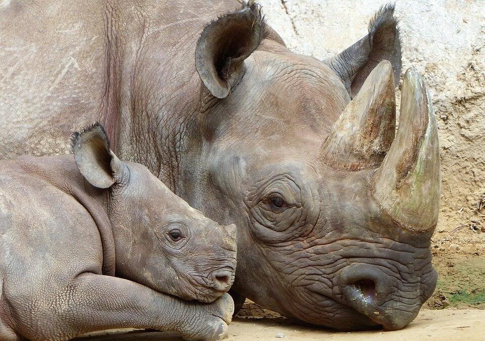 Vedení ZOO Dvůr Králové demonstrativně spálí zásoby nosorožčí rohoviny