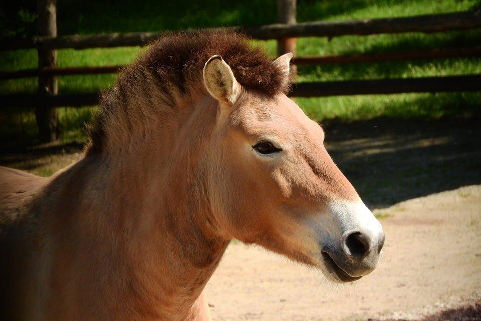 Do liberecké zoo přicestovali koně Převalského