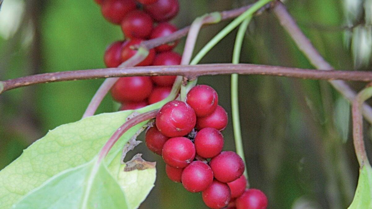 Schizandra (Schizandra chinensis)