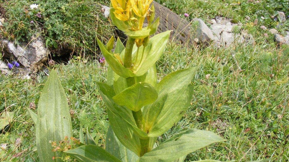 Hořec žlutý (Gentiana lutea)