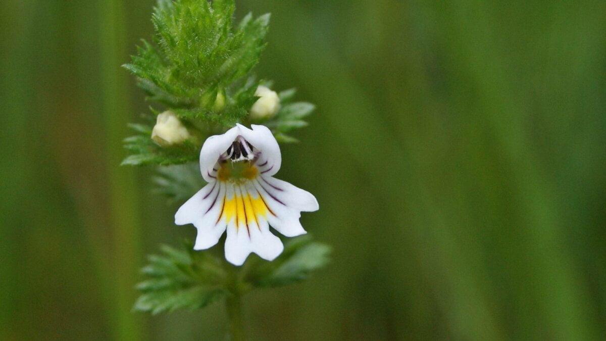 Světlík lékařský (Euphrasia officinalis)