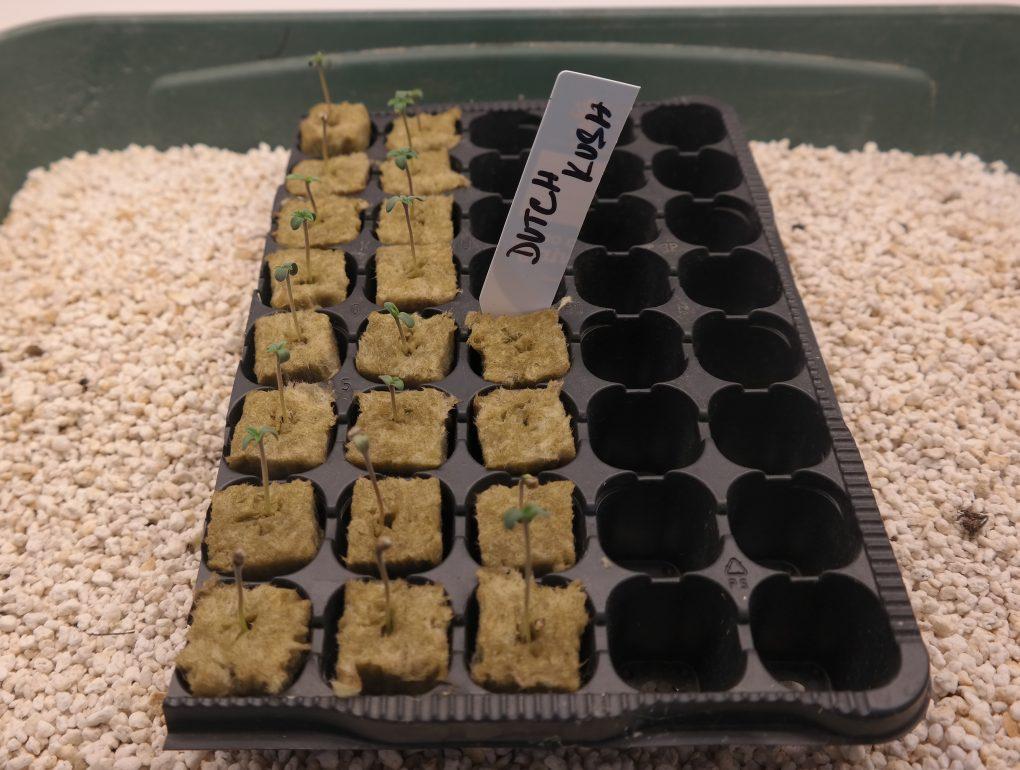 Konopná semena jsou vČesku legální, pěstování nikoliv.