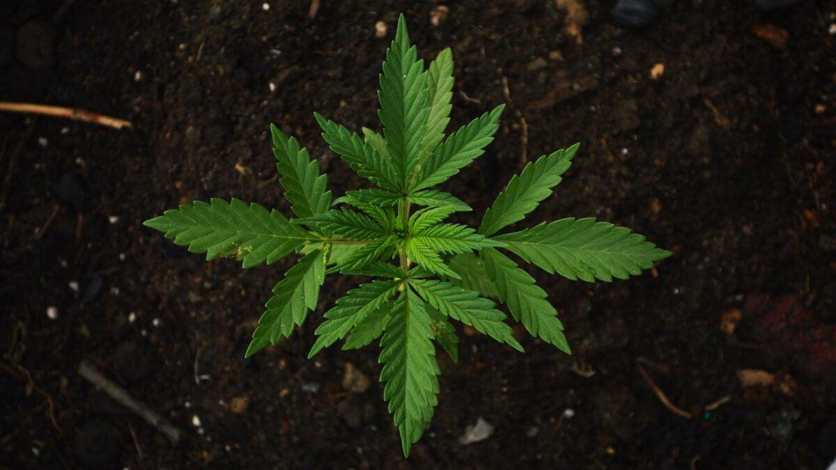 Wie Cannabis funktioniert: das Endocannabinoidsystem im Detail