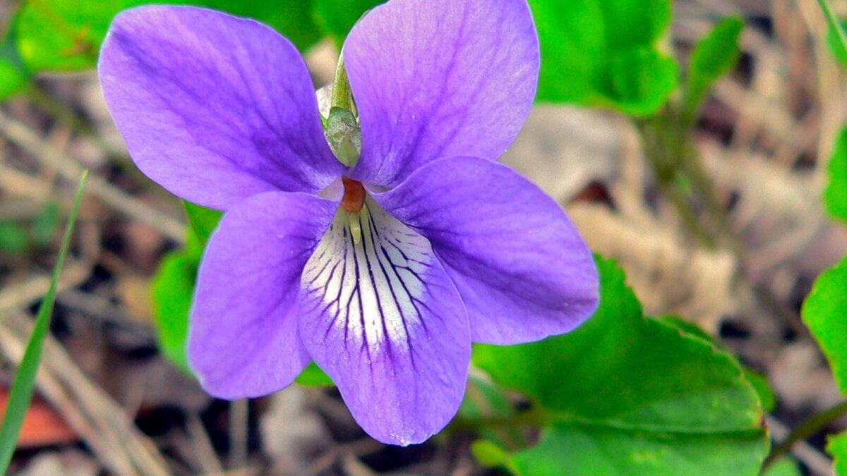 Fialka vonná (Viola odorata) – drobná kráska zparfémů