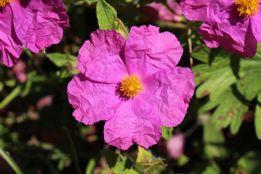 Růže skalní – všelék proti virům