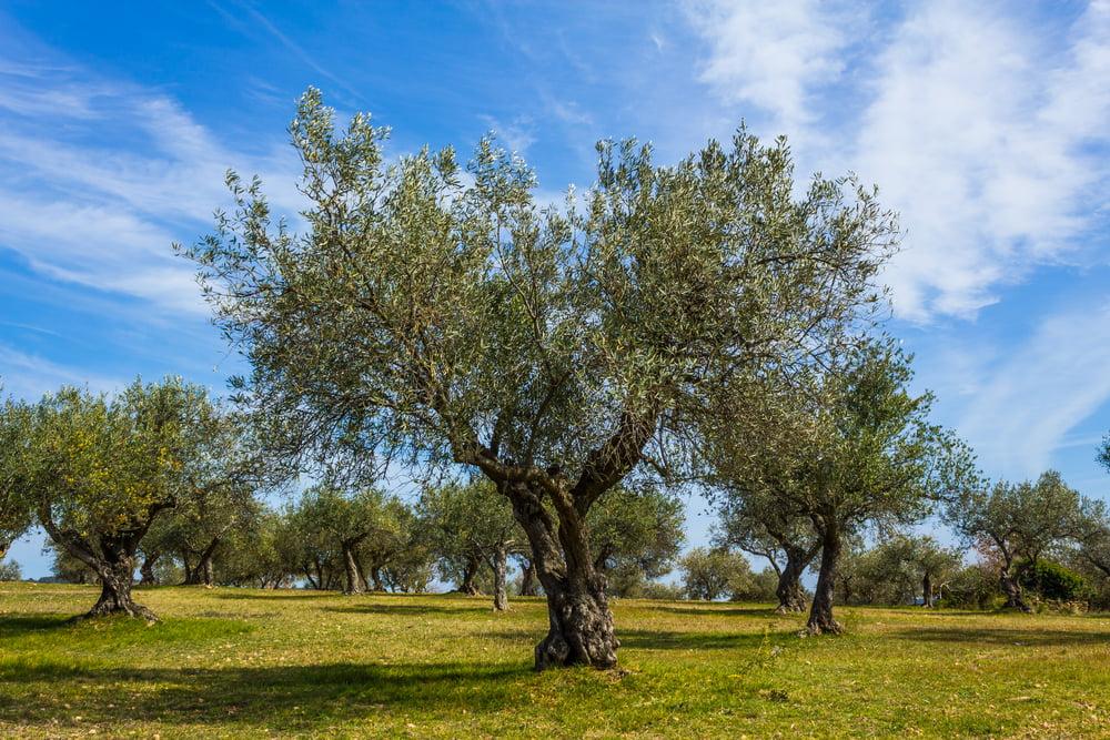 Tichá sdělení – Olivovník