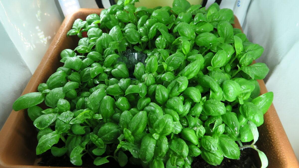 Test indoor pěstování bylinek